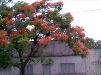flor nacional