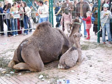 camellos2.jpg